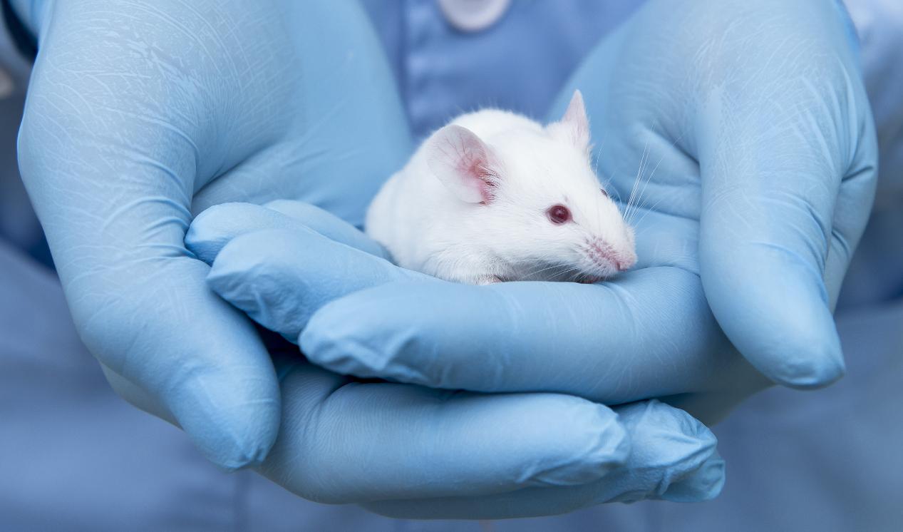 White laboratory mouse